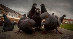 Алгоритм Google Pigeon